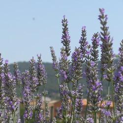 有機穗花薰衣草 Spike Lavender