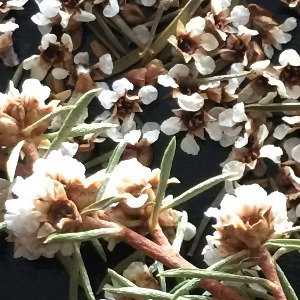 野生芳枸葉精油