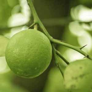 野生綠檸檬精油