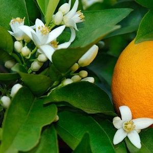 有機苦橙葉精油~連苦橙花蒸餾