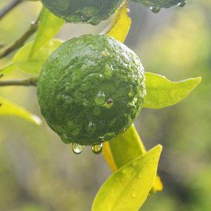 純桔葉精油 (傳統栽種)
