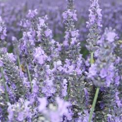 有機梅耶薰衣草 Lavender Maillette