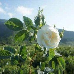 有機白玫瑰精油