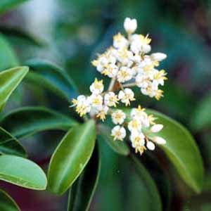 阿米香樹純精油 (傳統栽種)