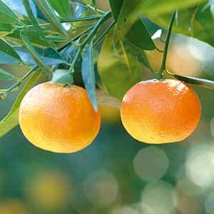 野生克萊蒙橙精油