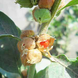 有機睡茄 (印度人參) 萃取液