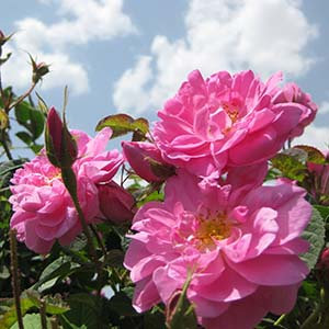波斯玫瑰純精油