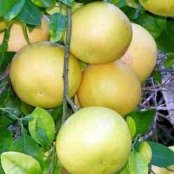 野生紅葡萄柚精油