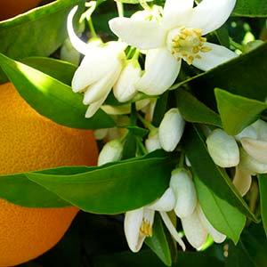 有機橙花純露