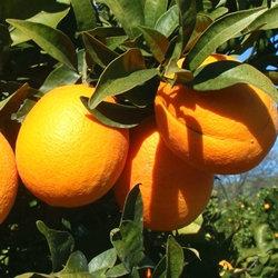 血橙精油 (A) ~純精油 CCX