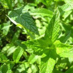 野生綠薄荷精油