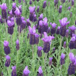 野生頭狀薰衣草 Lavender Stoechas