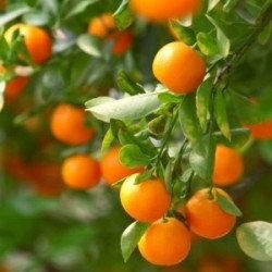 野生甜橙精油