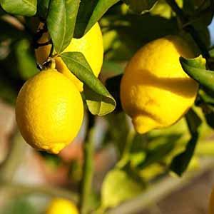 野生檸檬精油