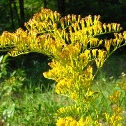 有機一枝黃花精油
