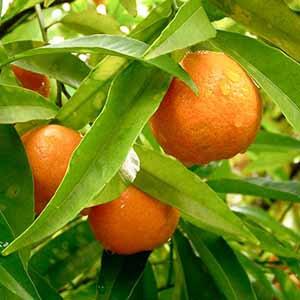紅桔 / 紅橘精油 (純精油) CCX
