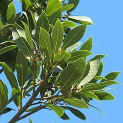 野生月桂果植物油
