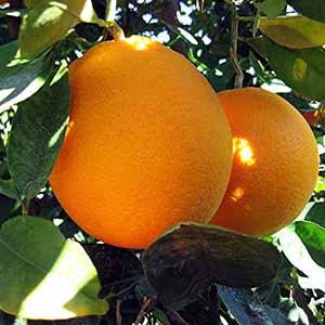 血橙精油 (B) ~純精油 CCX