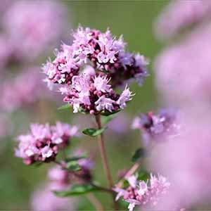 野馬鬱蘭精油 ~ 傳統栽種
