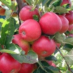 有機蘋果萃取液