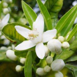 橙花精油 ~ 傳統栽種