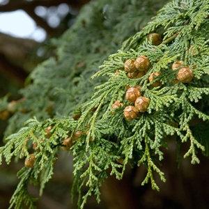 野生日本檜木精油~日本扁柏