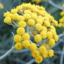 有機意大利永久花精油~蠟菊