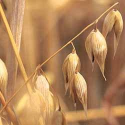 燕麥油 - 純植物油 CCX