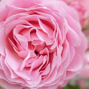 有機玫瑰花浸泡油