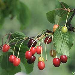 有機櫻桃籽油