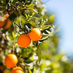 甜橙精油~純精油 CCX
