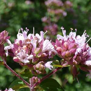 甜馬鬱蘭純精油 (傳統栽種)
