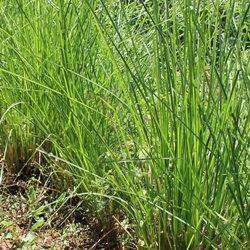 有機岩蘭草精油
