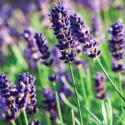 野生有機高地薰衣草 ~ 法國 Lavender Highland