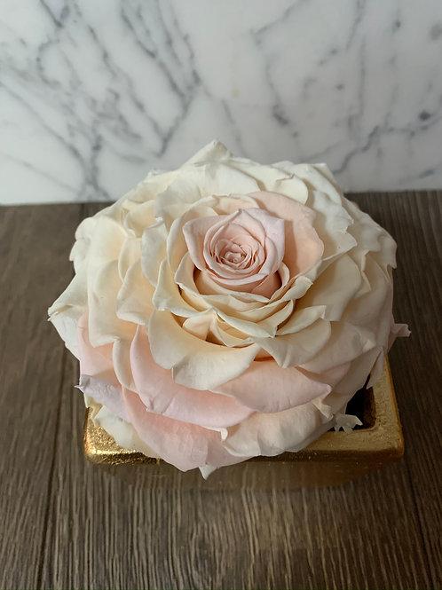 Jumbo Blush Rose