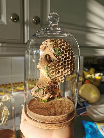 Close up of a hornet display made with some old wasp nest, a dead hornet and some vine wood inside a bell dome