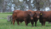 Barcaldine Bull Sale 2020 - March 06, 2020