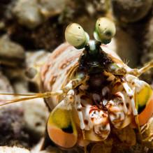 Havana Mantis Shrimp