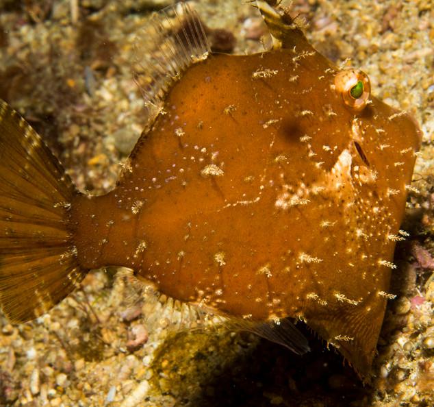 Leafy Filefish