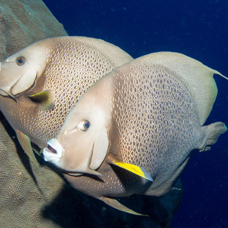 Grey Angelfish Pair