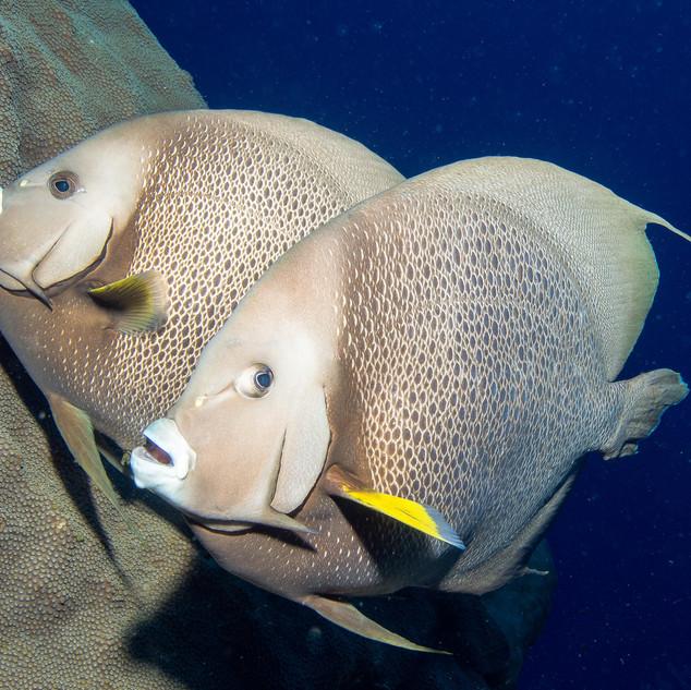 Grey Angelfish Pair
