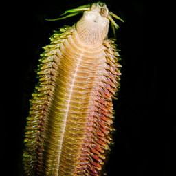 Polychaete Worm