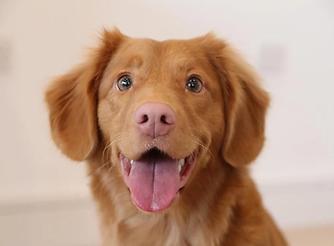 golden-retriever-puppy.jpg