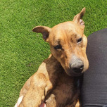 Coco, Staffy X, 2 years old