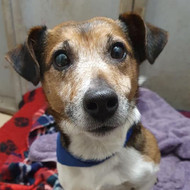 Pax, Jack Russell, 9 years old