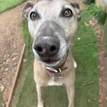 Sam, Whippet mix, 6 years old