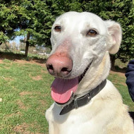 Rupert, Lurcher, approx 5 years old
