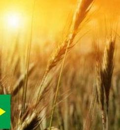 Бразилия_пшеница_флаг_1.jpg