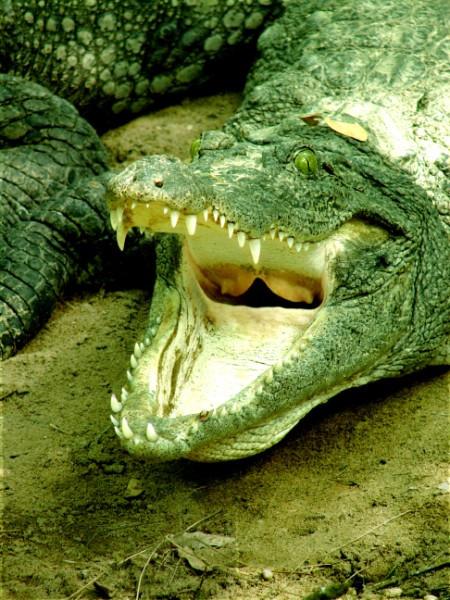croc1.jpg