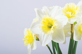 white%20daffodil%20flowers_edited.jpg